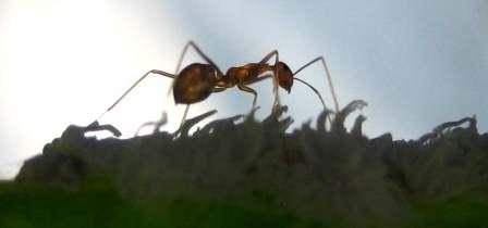 Garden ant control - ant sillouete