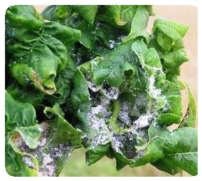 Aphids and sticky honeydew on spinach