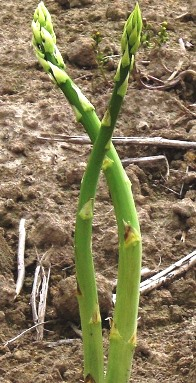 Two asparagus spears growing in soil