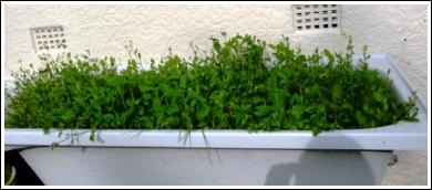 Bath as raised garden bed growing mustard cress