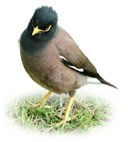 backyard mynah