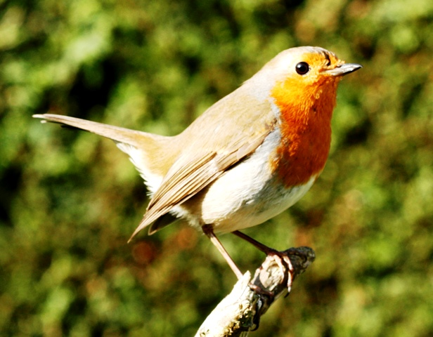 Robin redbreast perching on branch