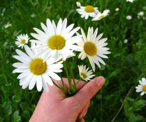 Growing Flowers - bunch of daisies in hand
