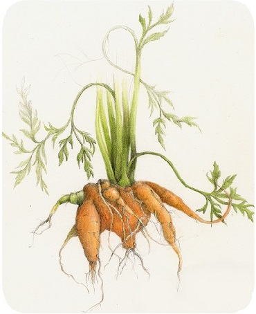 carrots with twisted roots