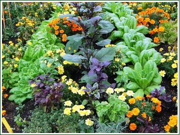 vegetable gardening plant companions and combining - Flower And Vegetable Garden Ideas