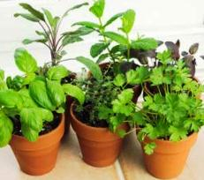 Container herbs - growing an indoor potted garden