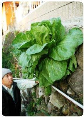 Cabbage growing out of wall
