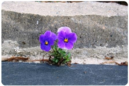 Purple pansy in concrete
