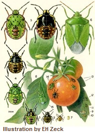 Green vegetable bug - garden pests