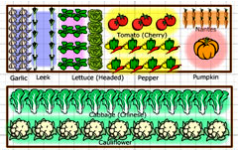 plan a vegetable garden - rows of vegetables
