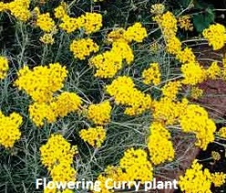 Growing Herbs - flowering curry plant