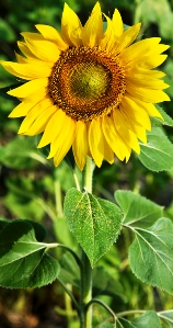 Gardening activities for kids - growing sunflowers