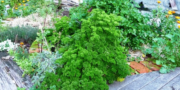 herbs for drying; parsley and sage