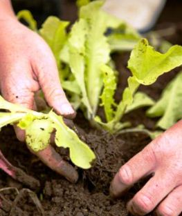 Starting seedlings indoors - transplanting lettuce seedlings