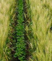 Intercropping field of two sorts of plants