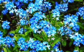 pretty blue small flowers