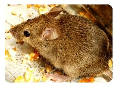 mice are common house and garden pests