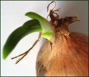 stored onions sprouting