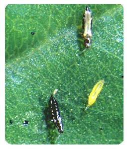 Thrips stages on leaf - garden pests
