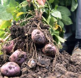 Harvesting potatoes - pulling purple spuds from soil
