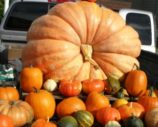 Prize winning big pumpkin
