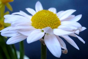 Pyrethrum daisy pest repellant