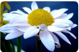 Pyrethrum daisy pest repellent