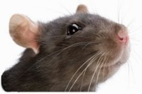 What to compost - rat attracted to compost