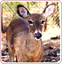 Repel deer - deer repellant and control ideas