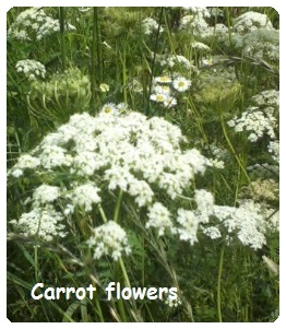 Saving Vegetable Seeds - carrot flowers