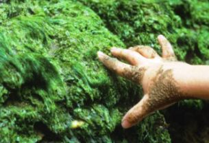 Seaweed for fertilizing garden - hand touching seaweed