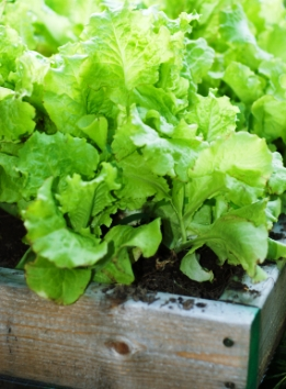 square foot gardening growing concentrated lettuces