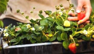 Container gardening vegetables - strawberries in tub