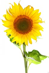 How kids can grow sunflowers