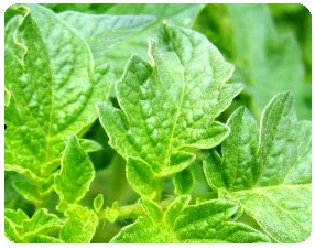 Organic pest remedies - tomato leaves
