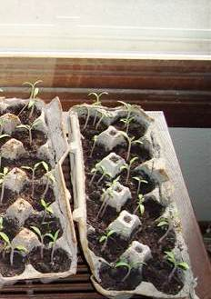Starting seedlings indoors - tomato seedlings in egg cartons