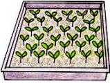 Vegetable seedlings in tray
