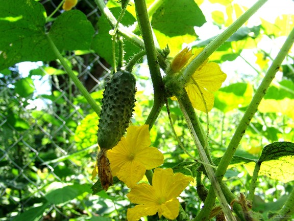Cucumber vine growing up fence vertically