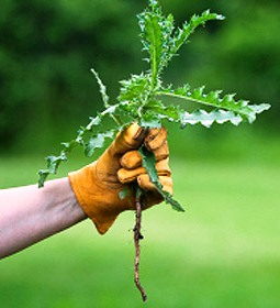 Organic weed control - weeding by hand