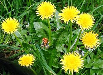 Weeds - dandelions with flowers and leaves
