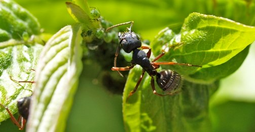 Organic garden ant control - ants with aphids