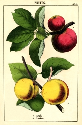 Growing fruit trees. Botanical apples and apricots fruits
