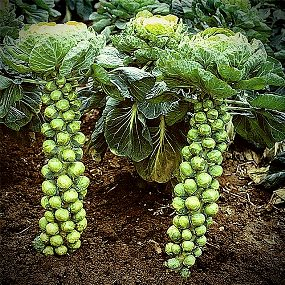 Brussels sprouts heirloom