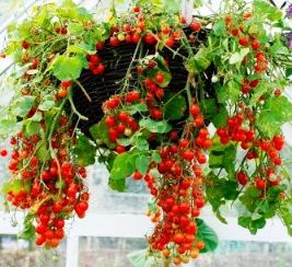 Hanging basket of tomatoes