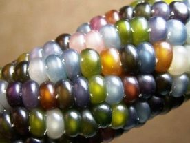 Corn - Indian glass gem