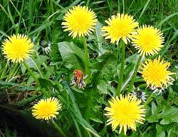 how to make compost tea with weeds - dandelions