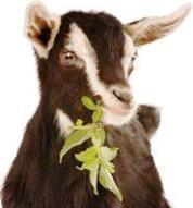 Goat eating leaves from allotment gardens