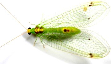 beneficial garden green lacewing