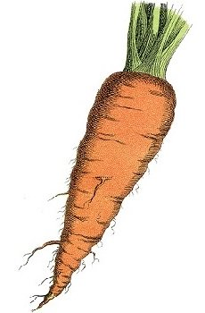 hairy carrot