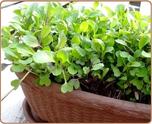 Microgreens in pots